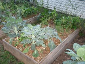 A raised bed with brocolli, brussels sprouts, and tomato plants.