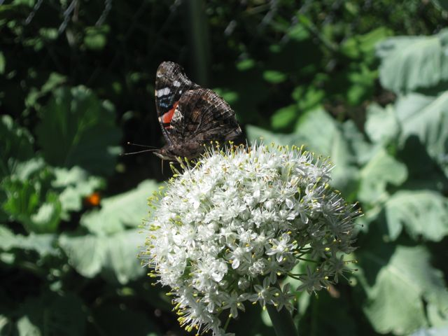 A butterfly draws nectar from a flowering onion plant.